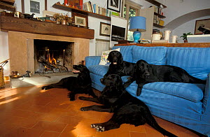Four Flat coated retrievers resting on and beside sofa  -  Adriano Bacchella