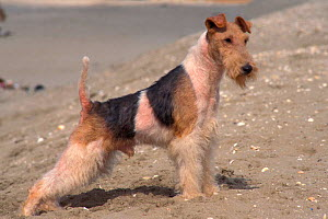 Wire haired Fox terrier  -  Adriano Bacchella