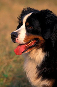 Bernese mountain dog, portrait  -  Adriano Bacchella