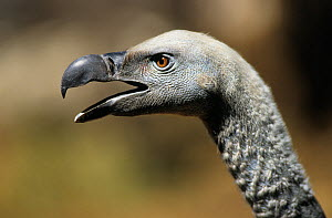 RF- Cape vulture (Gyps coprotheres) head profile with open beak. De Wilt, South Africa. (This image may be licensed either as rights managed or royalty free.)  -  Tony Heald