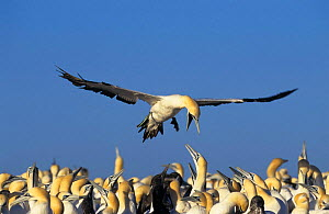 Cape gannet {Sula / Morus capensis} coming in to land in colony, Lamberts bay, South Africa. - Tony Heald