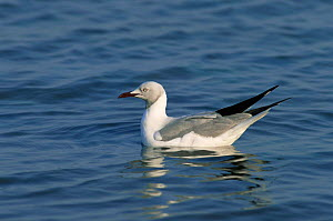 Grey headed gull (Chroicocephalus cirrocephalus) in water, False Bay, South Africa  -  Hanne & Jens Eriksen