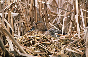 Canvasback duck (Aythya valisineria) female camouflaged on nest in reed bed, Canada  -  Barrie Britton