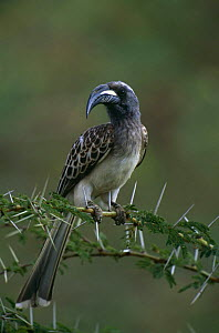 African grey hornbill (Tockus nasutus) perched on Acacia branch, Lake Naivasha NP, Kenya  -  Peter Blackwell