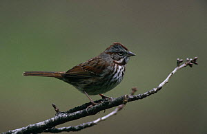 Song sparrow (Zonothrichia melodia) perched on branch, CL, USA  -  Nigel Bean