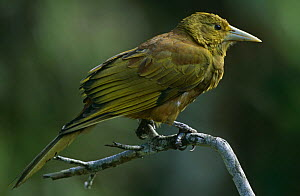 Russet backed oropendola (Psarocolius angustifrons) perched on branch, South America  -  Hermann Brehm