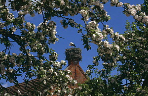 White stork (Ciconia ciconia) nesting in chimney, Brandenberg, Germany  -  Christoph Becker
