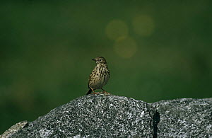 Meadow pipit (Anthus pratensis) standing on rock, Norway  -  Christoph Becker