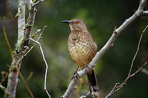 Curve billed thrasher (Toxostoma curvirostre) perched on branch, TX, USA  -  John Cancalosi