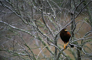 Harris' hawk (Parabuteo unicinctus) resting in tree, TX, USA  -  John Cancalosi
