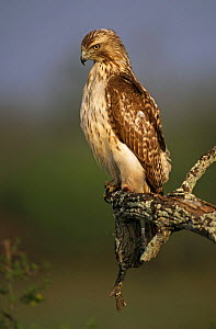Portrait of Red tailed hawk (Buteo jamaicensis) perched in branch, TX, USA - John Cancalosi
