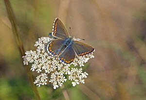 Adonis Blue {Polyommatus bellargus} female resting on Cow parsley flower, Wiltshire, England, UK. - David Kjaer