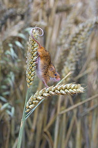 Harvest Mouse {Micromys minutus} climbing between wheat-ears, Captive, Europe.  -  David Kjaer