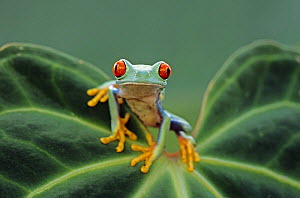 Red eyed tree frog {Agalychnis callidryas} perching on leaf, Captive. - David Kjaer