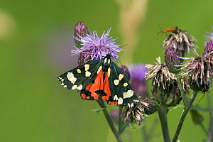 Scarlet tiger moth {Callimorpha dominula} resting on flower, Wiltshire, England.  -  David Kjaer