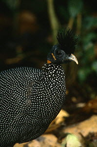 Portrait of Plumed guineafowl (Guttera plumifera), Epulu Ituri Rainforest Reserve, Democratic Republic of Congo - Jabruson