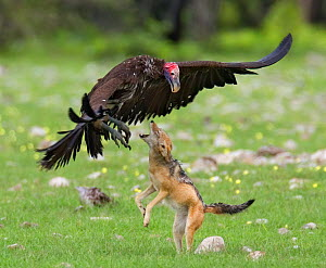 Lappet faced vulture {Torgos tracheliotus} being attacked by an aggresive Black backed jackal {Canis mesomelas} Etosha NP, Namibia - Tony Heald