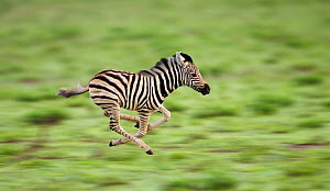 RF- Common zebra foal running (Equus quagga). Etosha National Park, Namibia. Digitally enhanced. (This image may be licensed either as rights managed or royalty free.)  -  Tony Heald