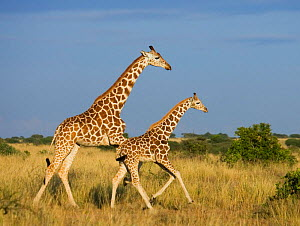 Reticulated giraffe {Giraffa cameloparalis reticulata} mother and young running, Laikipia, Kenya - Tony Heald