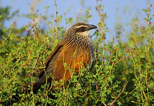White browed coucal {Centropus superciliosus} Laikipia, Kenya - Tony Heald