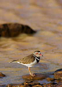 Three banded plover {Charadrius tricollaris} profile on stone at waters edge, Laikipia, Kenya.  -  Tony Heald