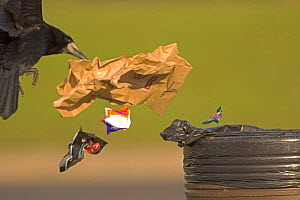 Rook (Corvus frugilegus) adult scavenging litter bin at motorway service station, UK  -  Chris Gomersall