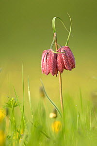 Snake's-head fritillary (Fritillaria meleagris) in flower: twin-flowered variety, North Meadow National NR, Wiltshire, UK  -  Chris Gomersall