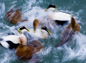 Eider duck abstract {Somateria mollissima} ducks and drakes, Northumberland.  -  DAVID TIPLING