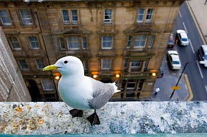 Black-legged Kittiwake {Rissa tridactyla} on a ledge in Newcastle city centre, UK.  -  DAVID TIPLING