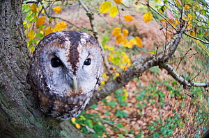 Looking down on Tawny Owl {Strix aluco} perched in tree, Kent, UK. Captive.  -  DAVID TIPLING