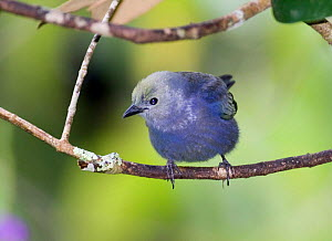 Male Blue-gray tanager {Thraupis episcopus cana} perching on branch, El Valle, Panama.  -  DAVID TIPLING