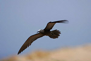 Common noddy {Anous stolidus} in flight, Daymaniyats, Oman - Hanne & Jens Eriksen