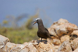 Common noddy {Anous stolidus} on rock with bill open, Daymaniyats, Oman - Hanne & Jens Eriksen