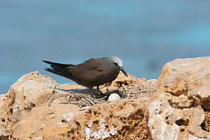 Common noddy {Anous stolidus} on nest with one egg, Daymaniyats, Oman - Hanne & Jens Eriksen