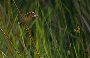 Fan-tailed warbler (Cisticola juncidis) perched on grass stem with insect prey, Spain  -  Jose Luis GOMEZ de FRANCISCO