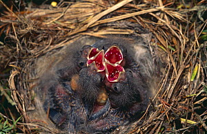 Linnet (Acanthis cannabina) chicks in nest begging for food, Spain - Jose Luis GOMEZ de FRANCISCO