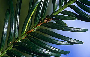 Close up of leaves of Yew tree {Taxus baccata} UK - Jason Smalley