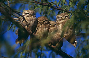 Four Spotted owlets {Athene brama} perched on branch, India - Ashok Jain