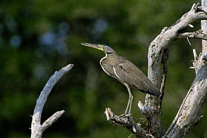 Bare throated tiger heron {Tigrisoma mexicanum} Mexico, Central America  -  David Welling