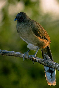 Plain chachalaca {Ortalis vetula} Texas, USA  -  David Welling