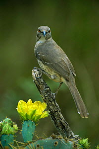 Curve billed thrasher {Toxostoma curvirostre} Texas, USA  -  David Welling