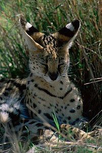 Serval {Felis serval} resting in grass with eyes closed, Ngorongoro Crater, Tanzania.  -  Owen Newman