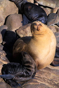 California Sealion {Zalophus californianus} Mother and pup resting, San Miguel Island, California, USA.  Sitting upright with neck outstretched is a common and comfortable resting position for sea lio...  -  Suzi Eszterhas