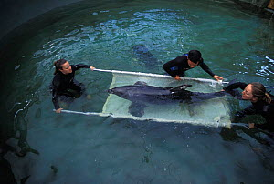 "Rehab. staff and volunteers from the Marine Mammal Center and Long Marine Lab put a bottle-nosed dolphin, ""Baker"", into a sling for transport from his tank at the Long Marine Lab to the open ocean for... - Suzi Eszterhas"