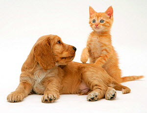 Ginger kitten with Golden Cocker Spaniel puppy. NOT AVAILABLE FOR BOOK USE - Jane Burton