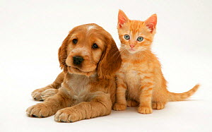 Golden Cocker Spaniel puppy with ginger kitten. NOT AVAILABLE FOR BOOK USE - Jane Burton