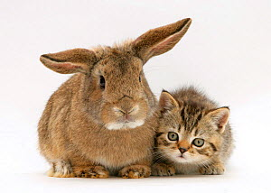 British Shorthair brown tabby female kitten with young agouti 'windmill ears' rabbit NOT AVAILABLE FOR BOOK USE - Jane Burton