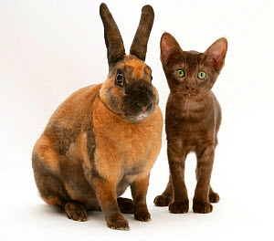 Brown Burmese-cross kitten with Rex rabbit. NOT AVAILABLE FOR BOOK USE - Jane Burton