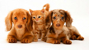 Cream Dapple and Chocolate Dapple Miniature Long-haired Dachshund puppies with British Shorthair red tabby kitten. NOT AVAILABLE FOR BOOK USE  -  Jane Burton