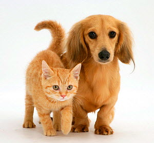 Cream kitten with cream dapple Dachshund puppy. NOT AVAILABLE FOR BOOK USE - Jane Burton